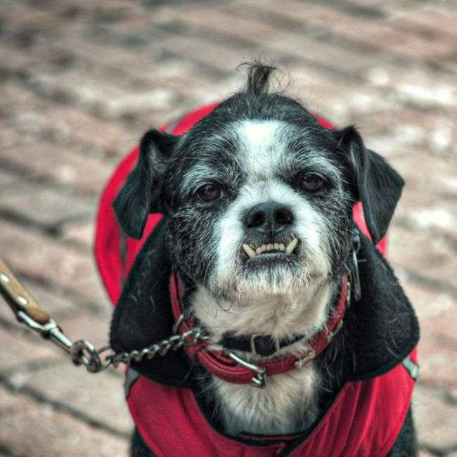 Смішні собаки з прикольним оскалом (25 фото)