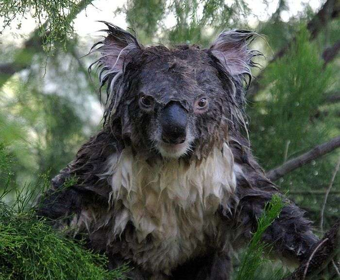 Як виглядає коала без стиліста? (3 фото)
