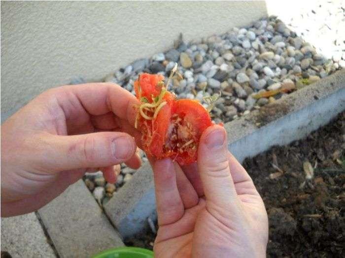 Забутий помідор (12 фото)