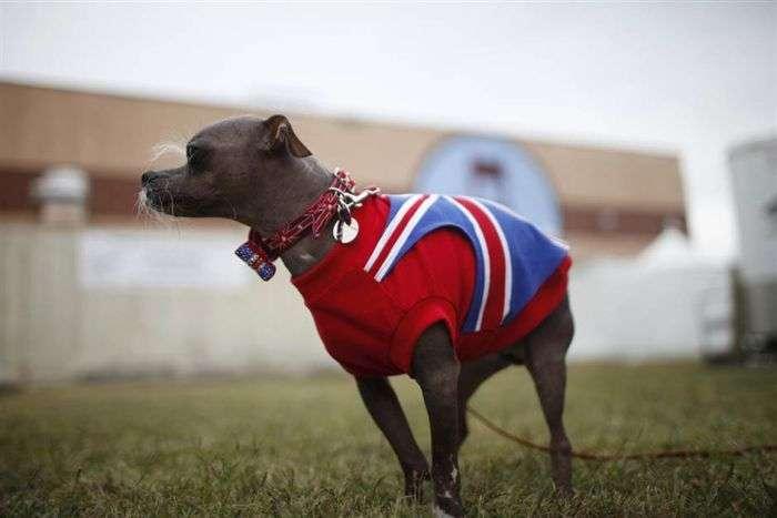 Конкурс на найпотворнішу собаку 2012 (16 фото)