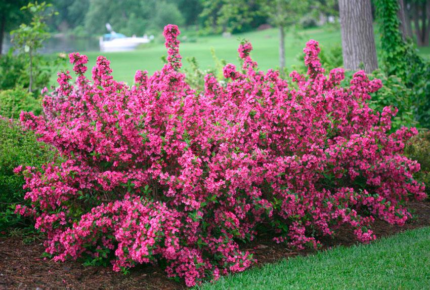 Вейгела: уход, посадка, размножение Сад и огород