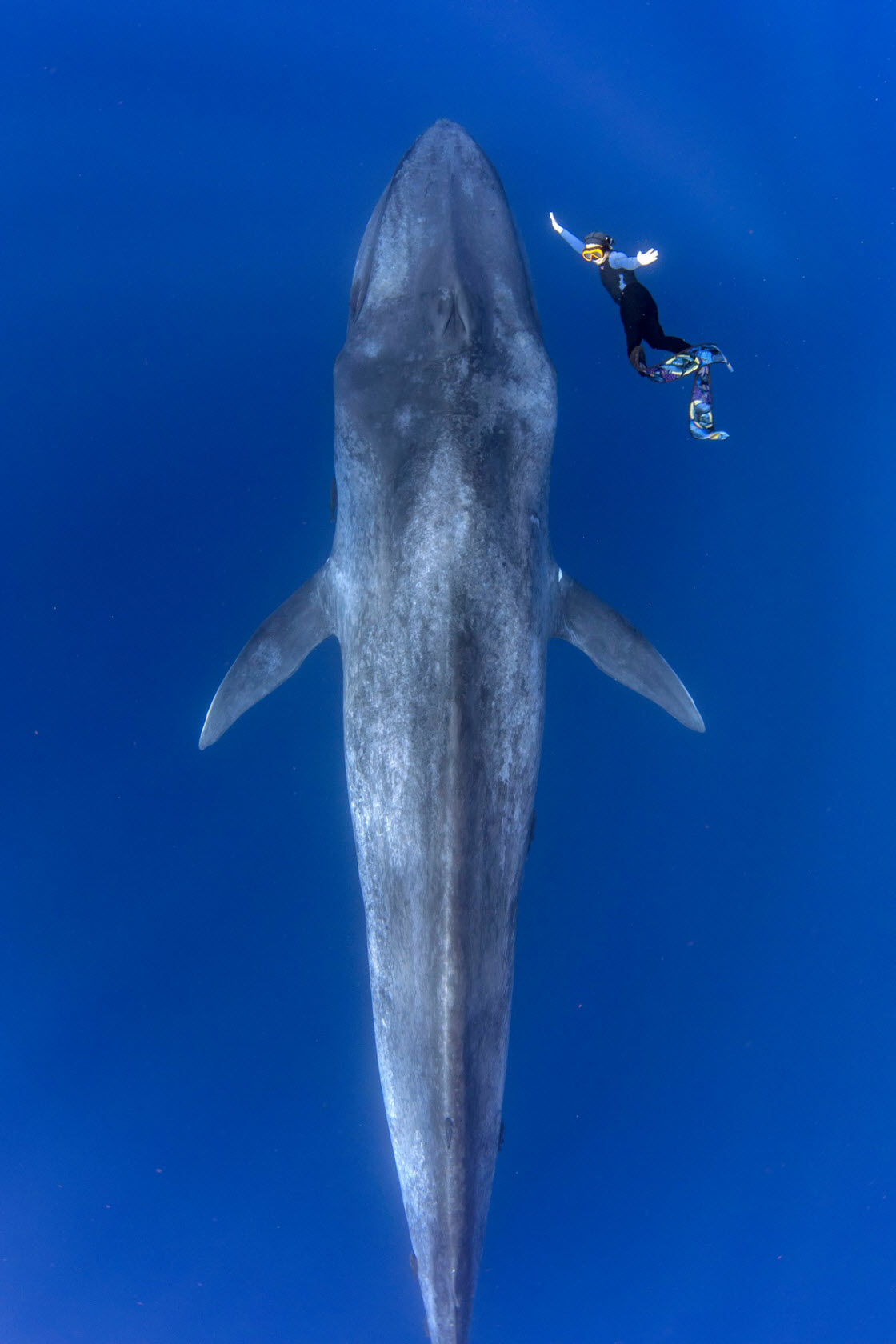 Удивительные кадры встречи дайвера с 30-метровым синим китом животный мир,природа,кит,момент,море
