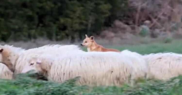 """Пастушью собаку застукали за """"делом""""! Её родео довело хозяев до истерики не всё так грустно"""