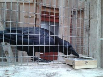 Вороны способны «заражаться» чужими эмоциями зверушки,живность,питомцы,Животные