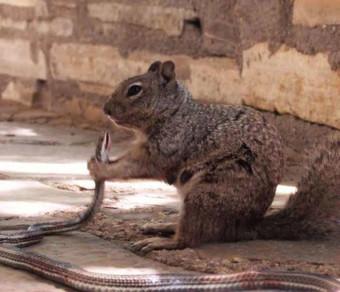Белка напала на змею и съела ее заживо зверушки,живность,питомцы,Животные