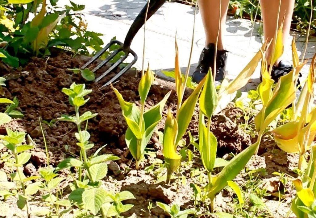 Когда выкапывать тюльпаны и как хранить луковицы Сад и огород